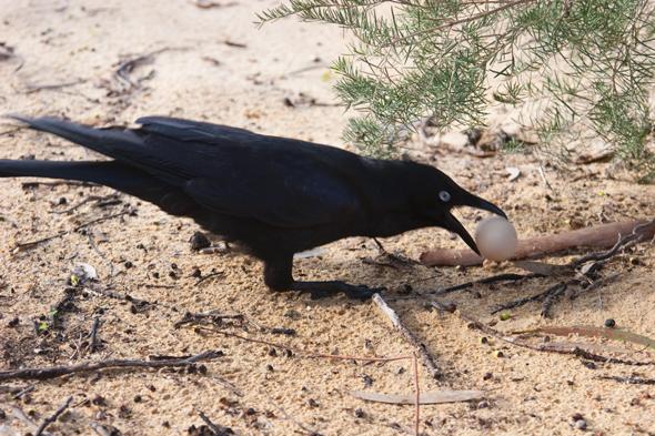 australian raven stealing an egg