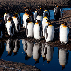 Moulting King Penguins, Volunteer Point, The Falkland Islands by Perdita Phillips