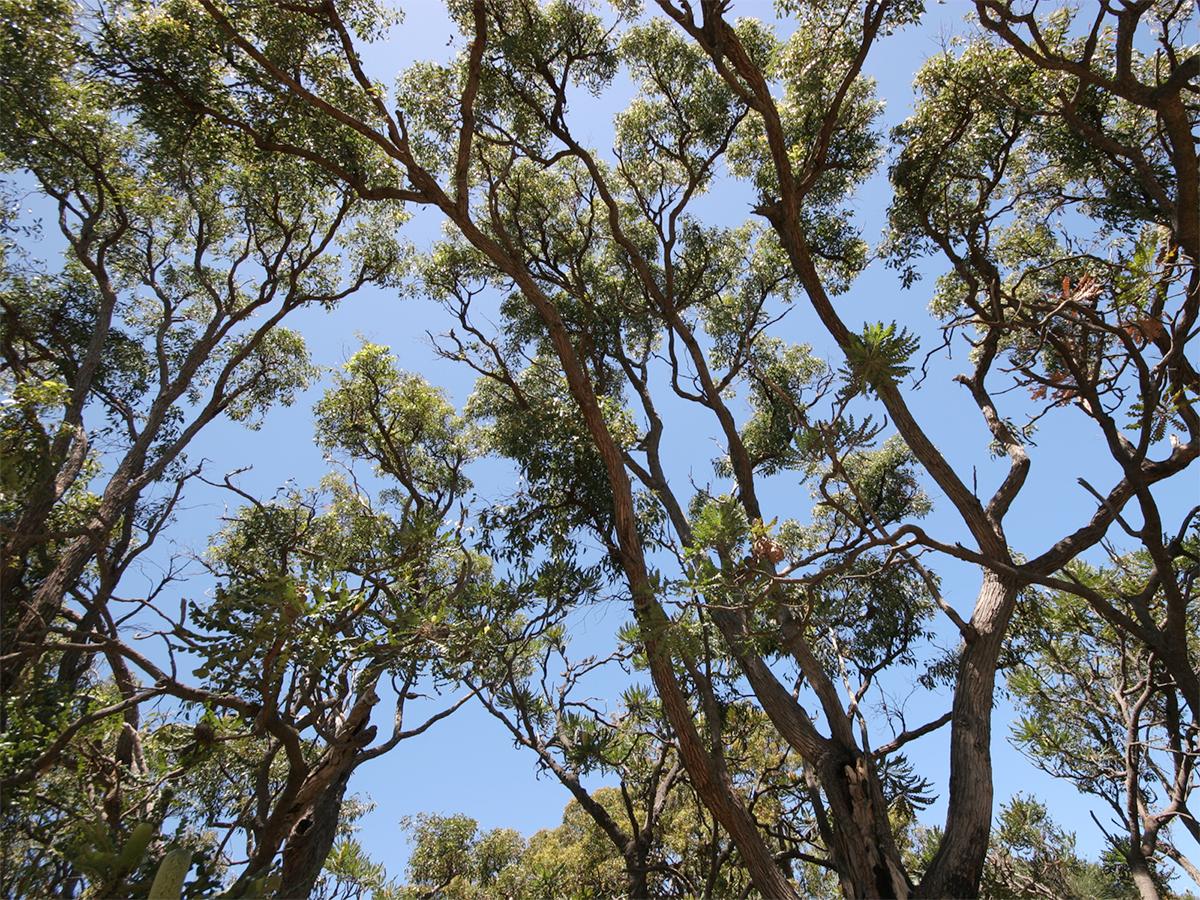 Banksia grandis in woodland