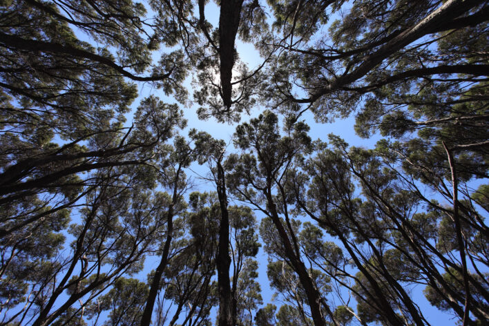 looking up at a canopy of trees