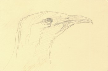 great bowerbird beak