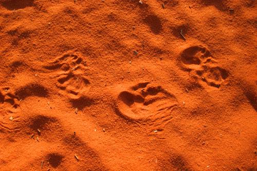 tracks (echidna)